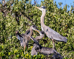 Great Blue Heron Chicks Fighting for Position (dbadair) Tags: outdoor nature wildlife 7dm2 ef100400mm canon florida bird