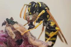 Hunting - 06 V 2019 (el.gritche) Tags: hymenoptera france 40 garden vespidae polistesdominula female predation