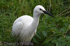 Little Egret (Cheryl's Wildlife) Tags: wildlife nature 2019 birdwatching nikon sigma photography naturereserve rspb rutland ospreys hornmilltroutfarm rivergwash rutlandwater