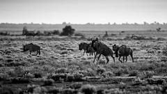 Namibia - Etosha - Jumping Wildbeest (Julien O'Farley) Tags: africa animaux etosha gnou namibie namutoni wildbeest