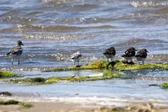 Delta de l'Ebre (Catalogne/Espagne) (PierreG_09) Tags: espagne spain españa catalogne catalunya cataluña ebre èbre ebro delta faune oiseau mer trabucador bécasseausanderling bécasseau