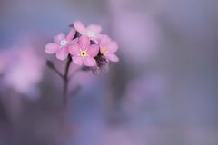 Pastel (christophe.laigle) Tags: rose bokeh christophelaigle fleur macro macromondays pink flower fuji nature myosotis forgetmenot xpro2 xf60mm pastel