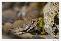 Reptiles en Alsace : tête de vipère ! (C. OTTIE et J-Y KERMORVANT) Tags: nature animaux reptiles vipères vipèreaspic alsace france