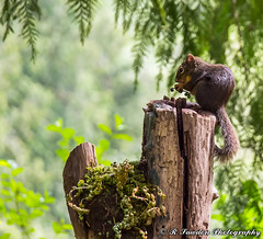 Lunch Time (R. Sawdon Photography) Tags: squirrel wildlife animal stump small bushytail brown