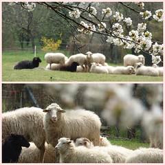Was gibt's ? / What's up ? (ursula.valtiner) Tags: schafe sheep frühling spring blüten blossoms wiese meadow flatz niederösterreich loweraustria austria autriche österreich