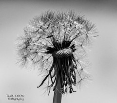Dandelion (roscherphotography) Tags: dandilion naturallight sidelight weed