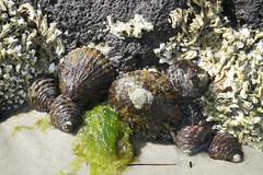 All the essential food groups (Marine Explorer) Tags: nature marine intertidal australia melbourne marineexplorer