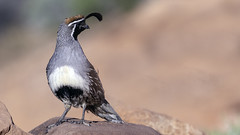 02469376422345-111-19-04-Gambel's Quail in the Mojave Desert-7 (You have failed me for the last time Jim) Tags: america gambelâsquail mojave mojavedesert nevada places quail southwest tamronsp150600mmf563divcusdg2 usa valleyoffire animal bird canon desert nature statepark