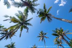 IMG_7314.jpg (Dhammika Heenpella / CWSSIP Images of Sri Lanka) Tags: dhammikaheenpella මිරිස්ස clusterofcoconuttreesbythesea ශ්රීලංකාවේචායාරූප ධම්මිකහීන්පැල්ල coconuttreehill ශ්රීලංකාවේෆොටෝ imagesofsrilanka srilanka mirissa කොකනට්ට්රීහිල් ශ්රීලංකාව traveldestination placesofinterest