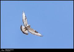Buse pattue (Sébastien Dionne photographe) Tags: oiseau oiseaux bird birds bassaintlaurent canon canon5dmarkiv canon5dmkiv 5dmarkiv 5dmkiv 150600mm 150600 sigma sigma150600 sigma150600dgoshsmsport sigma150600s buse busepattue