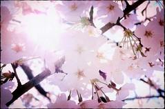 Dear Spring (nikoge) Tags: spring 桜 cherryblossoms pink 春 japan ピンク flower 日本 花 目黒川 light 光 植物 plants coth5 coth alittelebeauty