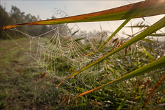 bairnsdale-3727-ps-w (pw-pix) Tags: spiderweb webofspider dew fog droplets shiny cliche silly 1628isnottoogoodupclose disappointing overpriced rushes reeds grass sun backlight backlit trees flare morass wetlands macleodmorass bosworthroad bairnsdale eastgippsland gippsland easternvictoria victoria australia peterwilliams pwpix wwwpwpixstudio pwpixstudio