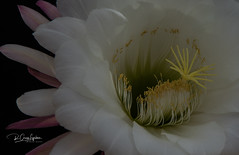 Cactus flower - take 3 (craig lefebvre) Tags: cactus flower cactusflower nature flora naturalsetting blooming lefebvre color texture lighting