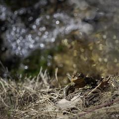 Tiens, un crapaud ... et si je l'embrassais ? (imagene74) Tags: grenouille crapaud nature