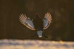 A9_05644 (msmedsru) Tags: black grouse lek finland kuusamo spring snow sunrise golden hour