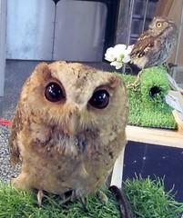 Pinky and Chester (billnbenj) Tags: barrow cumbria owl indianscopsowl raptor birdofprey westernscreechowl