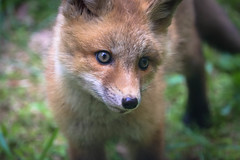 That's It, Sorry, You Are Now Killed By Cuteness, I Don't Make The Rules (curious_spider) Tags: fox redfox foxkit face portrait foxpup foxcub cute adorable omg omfg babyfox puppycat