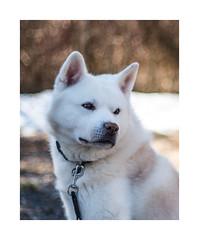 Spring Bokeh (eba5684) Tags: dog inu akita akitainu japanesedog bokeh spring sun nikkor nikond750 dogportrait nature white