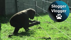 Gorillas Astonishing Dodge Of An Electric Fence To See Visitors (SloggerVlogger) Tags: gorillas astonishing dodge of an electric fence to see visitors