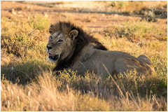 Lion sub adult (Don Chisciotte89) Tags: lion leone africa southafrica sudafrica sanp
