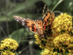 i2i (Robert Cowlishaw (Mertonian)) Tags: mertonian butterfly 4mysophia canon powershot sx70hs canonpowershotsx70hs robertcowlishaw chasingmybutterfly ineffable awe wonder beauty beautiful nature spring2019