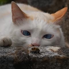 Flirt with danger (FocusPocus Photography) Tags: filou cat garten garden biene bee gefahr danger schielt crosseyed insekt tier animal haustier pet katze kater insect