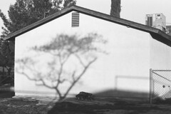 At the Cinema (squirtiesdad) Tags: mimosa tree shadow cat polydactyl bigfoot animal pet setting sun selfdeveloped selfscanned vivitar 220sl super takumar 55mm f18 epson v600 monochrome blackandwhite bw bn bwfp analog analogue arista iso100 35mm film