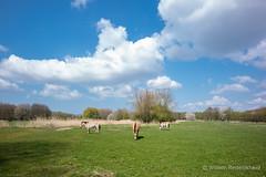 (Guillaume Raisonnable) Tags: m10 got przewalskipaarden leica carlzeiss europa lelystad natuurparklelystad nederland fauna natuur 18mm flevoland lente seizoenen