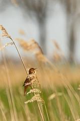Snor in rietland (NLHank) Tags: nlhank 2019 canon eos 7d mkii eos7d2 7dii holland netherlands vogels birds vogel bird wildlife natuur nature wieden dewieden riet snor locustella luscinioides savis warbler