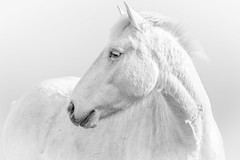 Magic White (Nedko Nedkov) Tags: camargue france horse white stallion