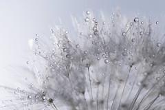 Can You See A Faerie? (Hugobian) Tags: little faerie fairy kingdom macro dandelion seed heads sun droplets fantasy pentax k1