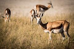 Namibie - Etosha - Sweet Springboks near Namutoni (Julien O'Farley) Tags: africa animaux etosha géographie namibie namutoni springbok