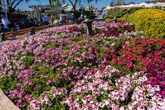 Azalea Garden (SCSQ4) Tags: azalea azaleagarden azaleas california carlsbad theflowerfields