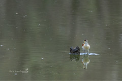 Northern Jacana (Mario Arana G) Tags: 7d ave bird birding cr canon costarica estacionhorizontes florayfauna guanacaste marioarana nature naturephotography northernjacana photography wildlife wildlifecostarica