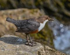 Dipper on the Dove (ukmjk) Tags: dipper river dove staffordshire derbyshire nikon nikkor d500 200500 vr bird water