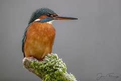 Chilling - KF (f) (Mr F1) Tags: wild kingfisher alcedoatthis electricblue chilling cold forest woodland dark perch somerset uk europe johnfanning wildlife small bird female