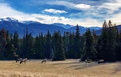 Elk in Jasper National Park (peggyhr) Tags: peggyhr elk rockies snow thelooklevel1red jaspernationalpark alberta