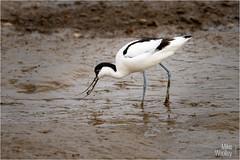 Avocet (Mike Woolley) Tags: avocet bird nikon norfolk spring wildlife