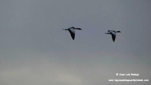 tarros-blancos-vuelo-1 209