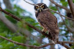 Spectacled Owl (Mario Arana G) Tags: 7d ave bird birding cr canon costarica estacionhorizontes florayfauna guanacaste marioarana nature naturephotography photography spectacledowl wildlife wildlifecostarica