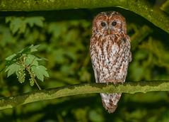 Tawny Owl sheltering from the rain (ukmjk) Tags: tawny owl nikon nikkor d500 70300vr sb900 night rain bird staffordshire stoke