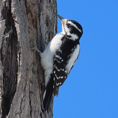 She loves knock-knock jokes (Meryl Raddatz) Tags: hairy woodpecker bird nature naturephotography