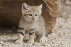 chat des sables (Bernardvinc) Tags: cat chat kitten mignon nice cute color nikon nikkor light portrait