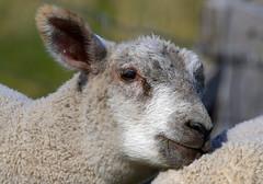 Snuggle (Nephentes Phinena ☮) Tags: nikond500 sigma50500mmf463 wöhrdenerloch schaf sheep lamm lamb