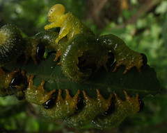 como assim??? (abelhário) Tags: raupen rupsen caterpillars lagartas besouro beetle tor käfer inseto insecto insekt insekte brasil brazil brasilien brazilë