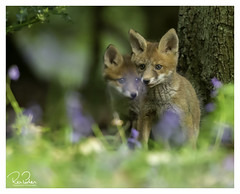 together in wonderland (richgparkes) Tags: fox cub family bluebells nature animal wood spring