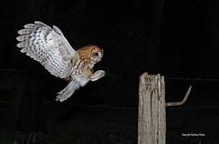 Tawny Owl-Strix aluco. Uk (PANDOOZY PHOTOS) Tags: tawnyowl strixaluco bird birds birdofprey raptor night flight fencepost post uk gb brownowl nocturnalbird strigiformes strigidae owl owls tawnyowls adult male