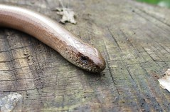 Slow Worm (StevePaisley) Tags: slow worm legless lizard reptile