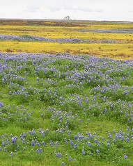 Cloudy spring day at Table Mountain, Oroville. (Ruby 2417) Tags: spring flowers wildflowers reserve preserve lupine table mountain oroville