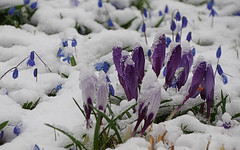 IMGP7391 (PahaKoz) Tags: весна флора сад цветы цветение снег снегопад spring flora garden flowers blossom bloom blossoming snow snowfall крокус крокусы crocus